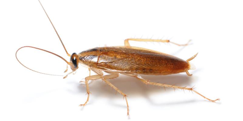 Blatte des meubles solutions pour radiquer les blattes blatte bandes brunes info exterminateur - Blatte de cuisine photo ...